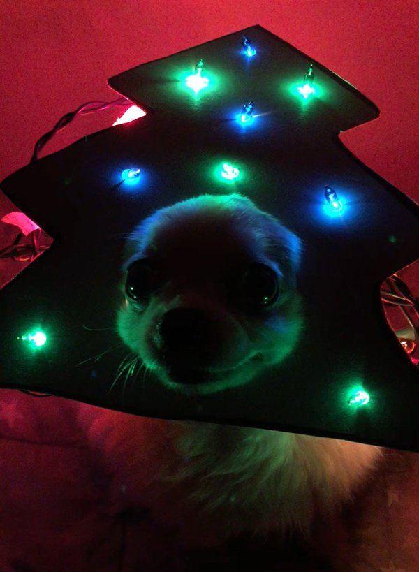 chihuahua-mametaro-christmas-tree