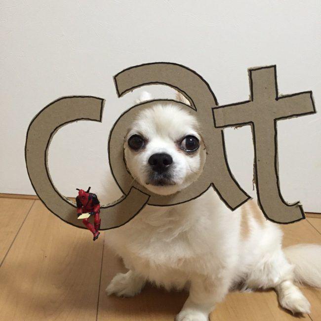 chihuahua-mametaro-cat
