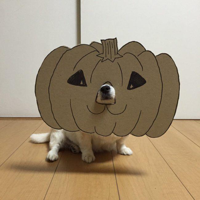 chihuahua-mametaro-pumpkin