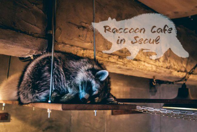 seoul-raccoon-cafe