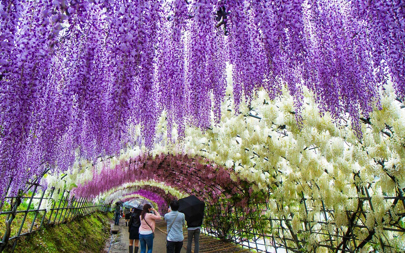 Japan 39 S Wisteria Festival May Be The Most Beautiful Place