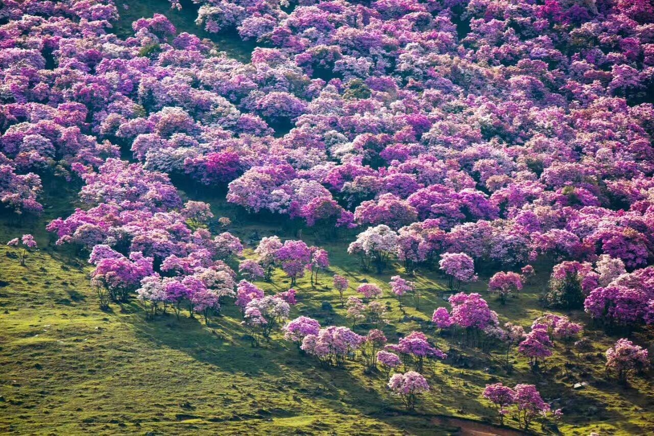 Thousands of tourists destroy azalea trees in China